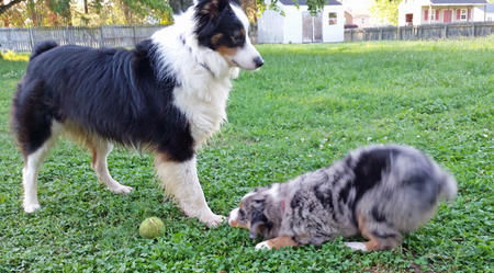 Gunner the Australian Shepherd Pictures 1056593