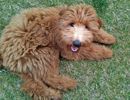 Gunner the Goldendoodle Pictures 710091