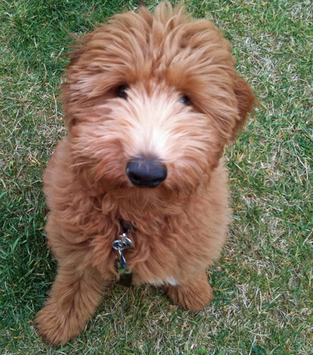 Gunner the Goldendoodle Pictures 710092