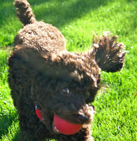 Gunner the Miniature Poodle Pictures 1055966