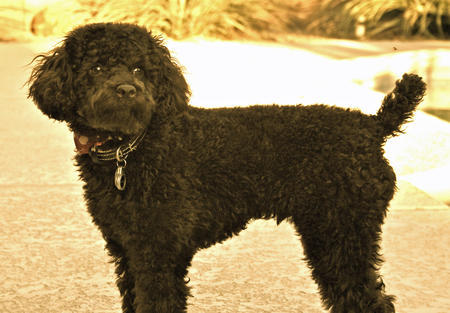 Gunner the Miniature Poodle Pictures 1055968