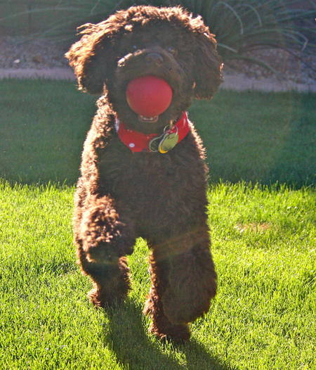 Gunner the Miniature Poodle Pictures 1055969