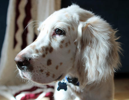 Gunster the English Setter Pictures 942989