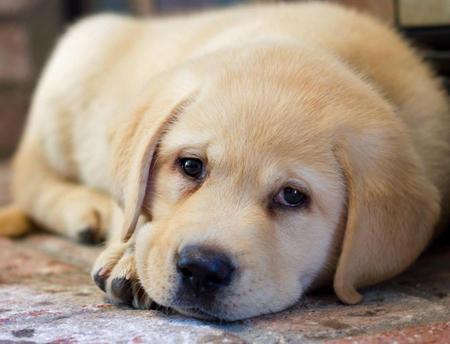 Gus the Labrador Retriever Pictures 845404