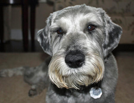 Gus the Schnauzer Pictures 768777