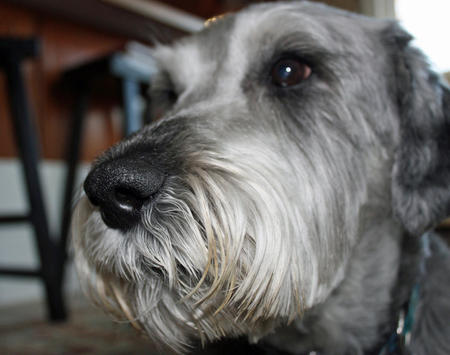 Gus the Schnauzer Pictures 768781