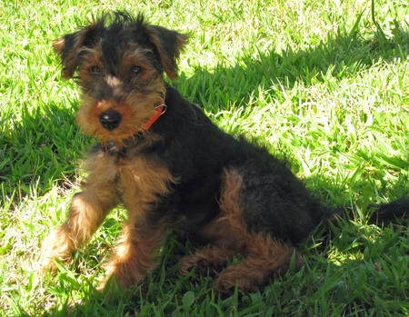 Gus the Welsh Terrier Pictures 985654