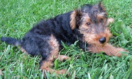 Gus the Welsh Terrier Pictures 985655