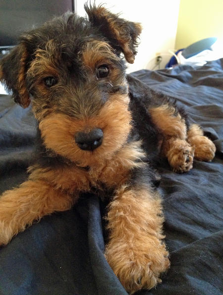 Gus the Welsh Terrier Pictures 985656