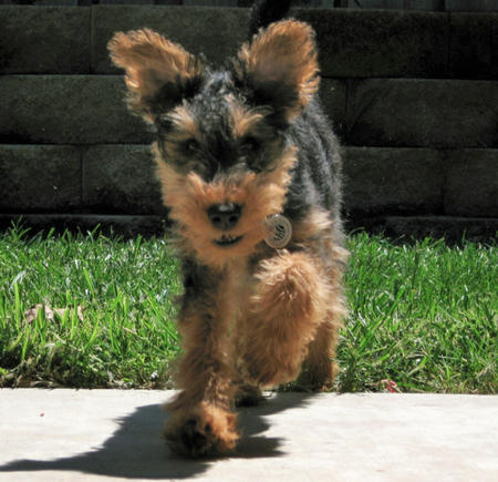 Gus the Welsh Terrier Pictures 985657