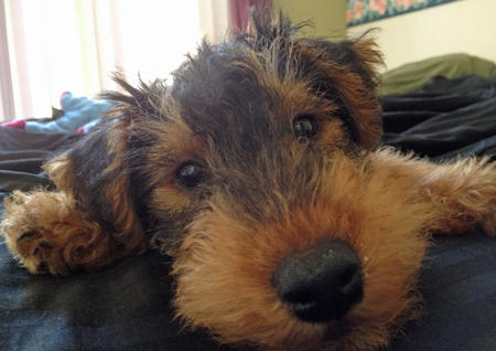 Gus the Welsh Terrier Pictures 985658