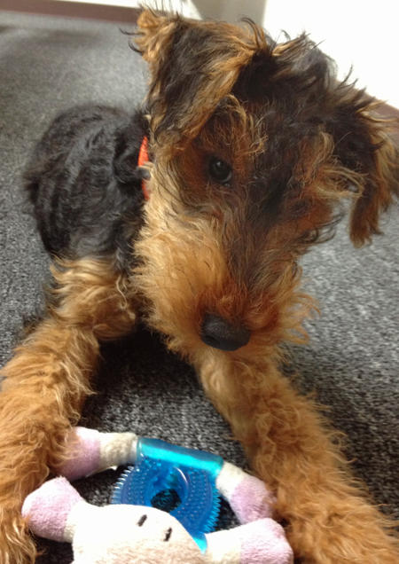 Gus the Welsh Terrier Pictures 985659