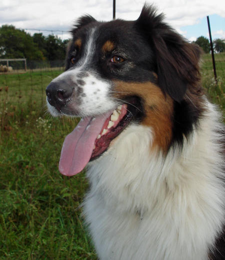 Guzzi the Australian Shepherd Pictures 514004