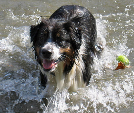 Guzzi the Australian Shepherd Pictures 514005