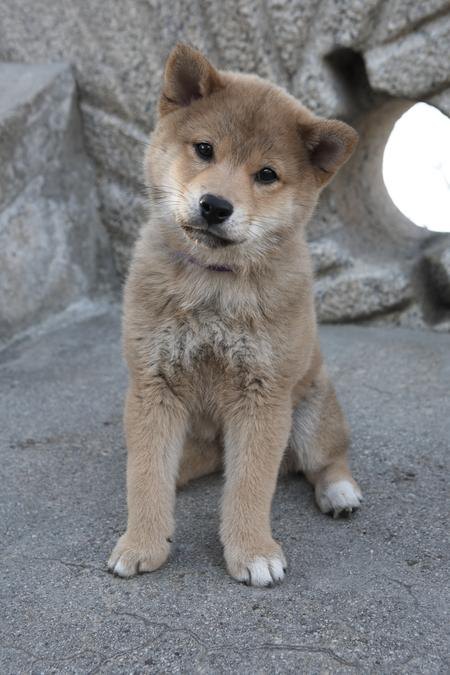 Hachi Movie Breed Of Dog