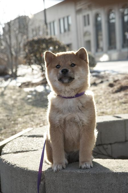 Hachi the Shiba Inu Pictures 736182