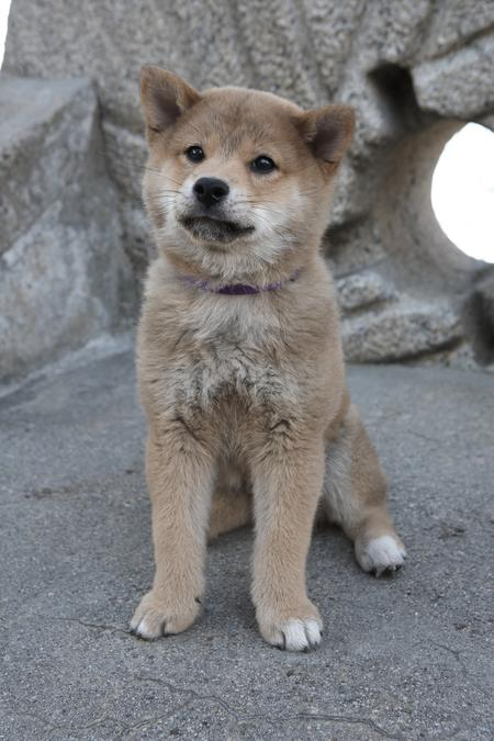 Hachi the Shiba Inu Pictures 736184
