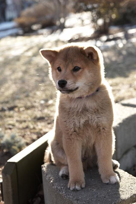 Hachi the Shiba Inu | Puppies | Daily Puppy