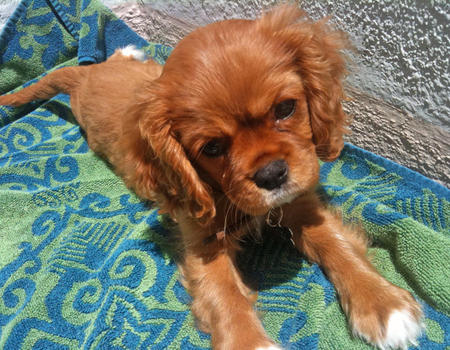 Hadley the Cavalier King Charles Spaniel Pictures 1059808