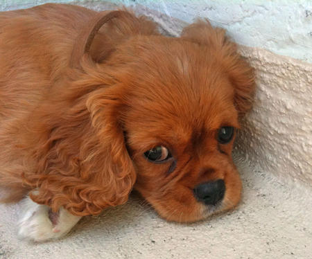 Hadley the Cavalier King Charles Spaniel Pictures 1059811
