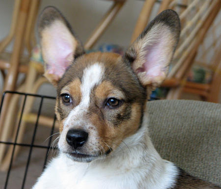 Hallie the Corgi Mix Pictures 1038649