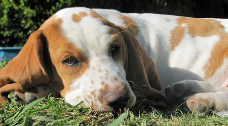 Hamilton the Basset Hound Pictures 1048966