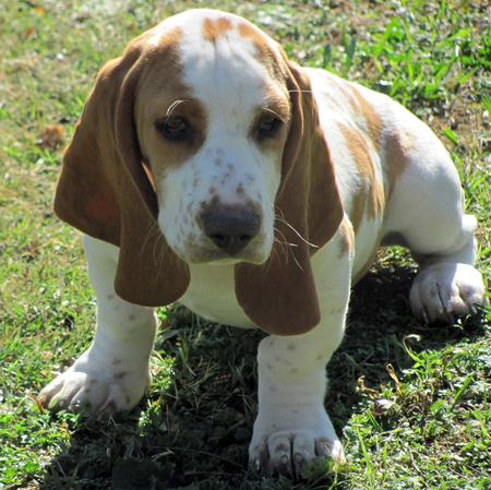 Hamilton the Basset Hound Pictures 1048967