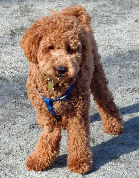 Hamilton the Labradoodle Pictures 997914
