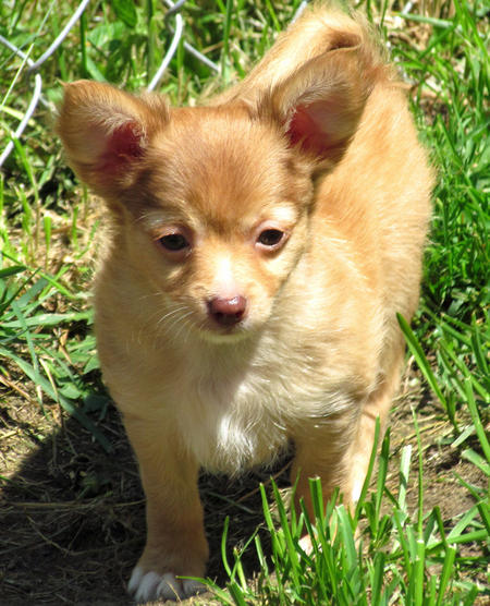 Hammy the Chihuahua Pictures 1056335