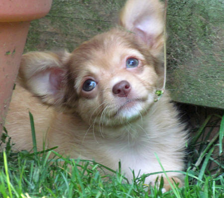Hammy the Chihuahua Pictures 1056337
