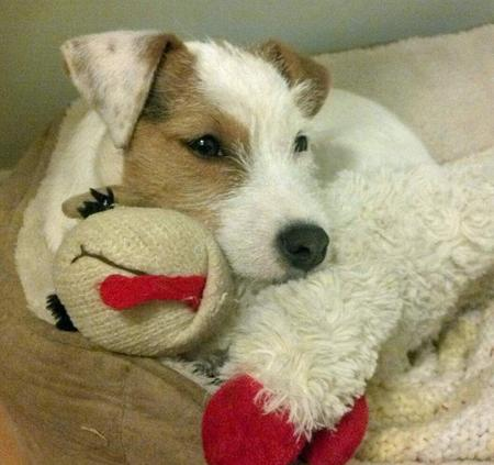 Hana the Parson Russell Terrier Pictures 884161