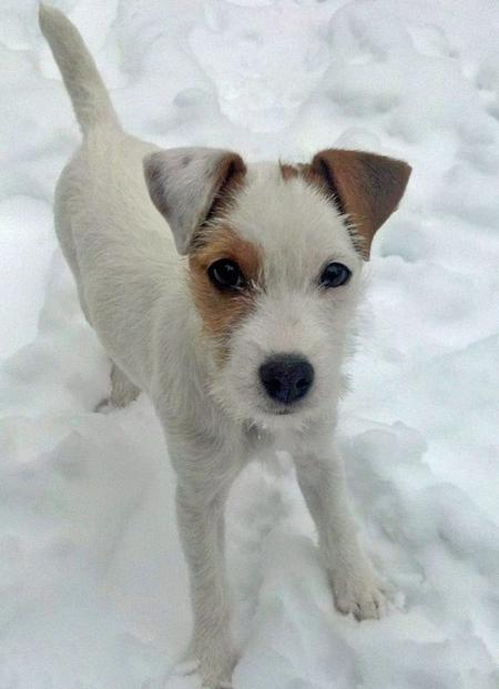 Hana the Parson Russell Terrier Pictures 884163