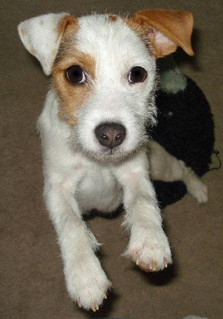 Hana the Parson Russell Terrier Pictures 884158