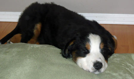 Hank the Bernese Mountain Dog Pictures 1048691