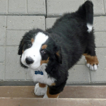 Hank the Bernese Mountain Dog Pictures 1048693