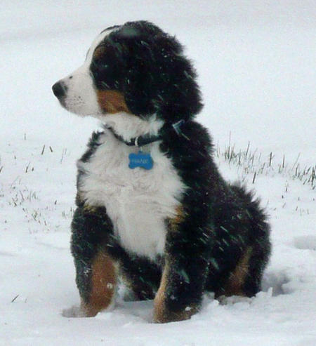 Hank the Bernese Mountain Dog Pictures 1048695