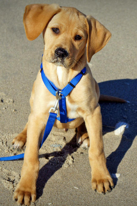 Hank the Labrador Mix Pictures 882533