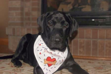 Hank the Labrador Retriever Pictures 975965