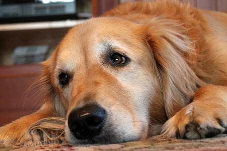 Hannah the Golden Retriever Pictures 935810