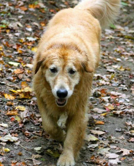 Hannah the Golden Retriever Pictures 935809