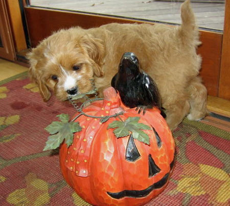 Happy Howl-a-Ween Puppies Pictures 464891