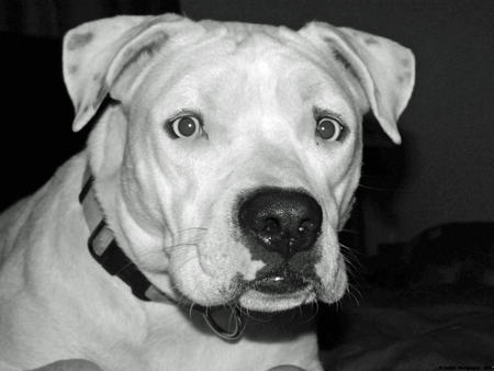 Harley the American Staffordshire Terrier Pictures 1005586