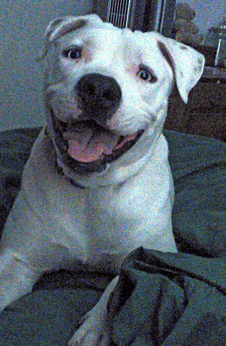 Harley the American Staffordshire Terrier Pictures 1005587