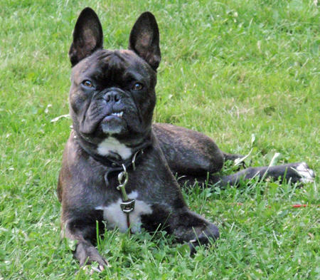 Harley the French Bulldog Mix Pictures 1045871