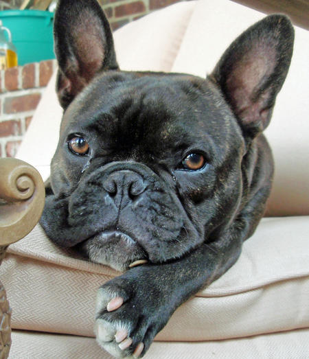 Harley the French Bulldog Mix Pictures 1045874