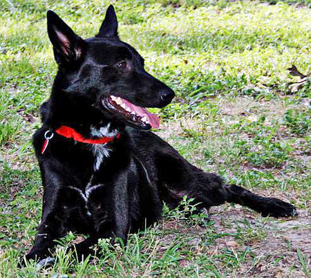 Harley the German Shepherd Mix Pictures 942891