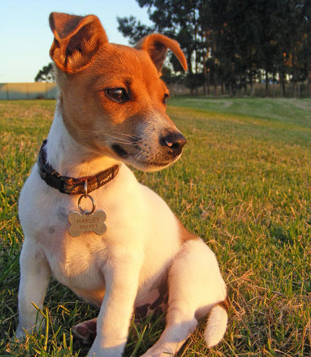 Harley the Jack Russell Terrier Mix Pictures 746358
