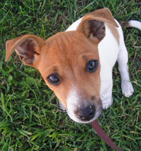 Harley the Jack Russell Terrier Mix Pictures 746359