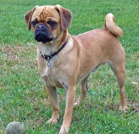 Harley the Puggle Pictures 770478