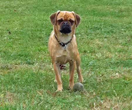 Harley the Puggle Pictures 770479